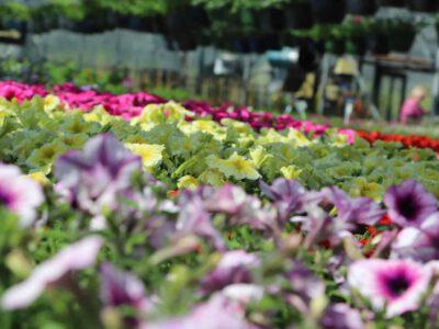 perkplanten, geraniums en petunias